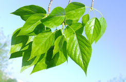 Green poplar leaves on sky Royalty Free Stock Images