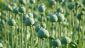 Green poppy  cocoons in field stock video