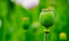 Green poppy head Royalty Free Stock Image