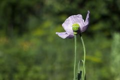 Green poppy heads grow in a field. Opium poppy, purple poppy flower blossoms Papaver somniferum.  royalty free stock photo