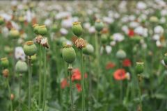 Green poppy heads and red flowers in the field royalty free stock photos