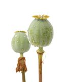 Green poppy heads Royalty Free Stock Image