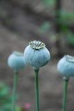 Green poppy pods Stock Photos