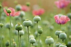 Green poppyheads Stock Photography
