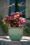 Green pot pink flowers Stock Photography