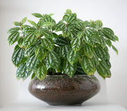 Green pot plant Royalty Free Stock Photos