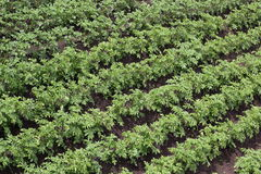 Green potato beds diagonal Royalty Free Stock Photography