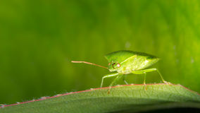 Green Potato Bug. On a leaf stock photos