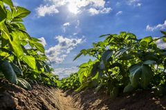 Green potato field on farmland, low angle view. With sunlight Royalty Free Stock Images
