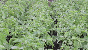 Green potato field. With the leaves swaying in the wind stock footage
