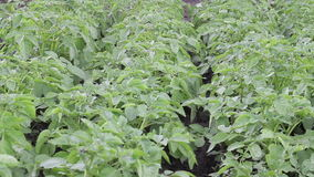 Green potato field stock footage