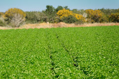 Green Potato Field. Organic cultivated. Stock Photos