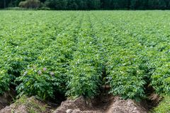 Green potato field with plants in straight rows. Large green potato field with potato plants in nice straight rows ready for harvest Royalty Free Stock Image