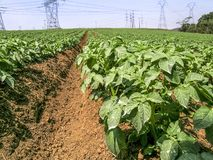 Green potato field. Green field with young potato plants and leaves stock image
