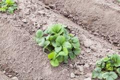 Green potato leaves Stock Image