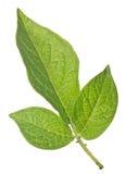 Green potato leaves isolated on white Royalty Free Stock Photos