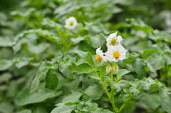 Green potato plant. Leaf of vegetable. Organic food agriculture in garden, field or farm. Growth of crop. Rural nature in summer.Flower potato Stock Photography
