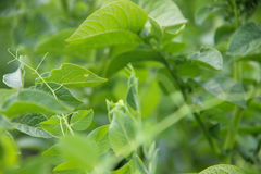 Green potato plant. stock images