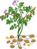 Potato plant with root system and different stages of development of Colorado potato beetle or Leptinotarsa decemlineata. Green potato plant with root system and stock illustration