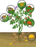 Potato plant with root system and different stages of development of Colorado potato beetle or Leptinotarsa decemlineata. Green potato plant with root system and royalty free illustration