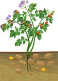 Potato plant with root system and different stages of development of Colorado potato beetle or Leptinotarsa decemlineata. Green Potato plant with root system and vector illustration