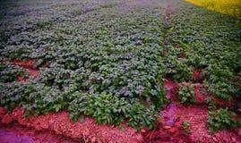 Green potato plants with leaves around an urban area stock photos