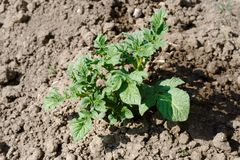Green potato tops on the loose soil Stock Photography