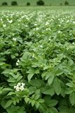 Green potatoes field in flowers Stock Photos