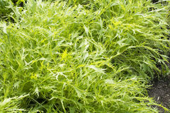 Green potherb mustard. Cultivating green potherb mustard plant in late autumn Stock Image