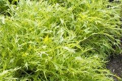 Green potherb mustard Stock Image