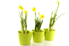 Green pots with daffodils Stock Images