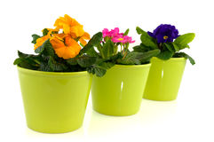 Green pots with primulas Stock Photography