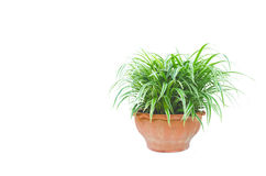 Green potted plant, trees in the pot isolated on white. Background royalty free stock photos