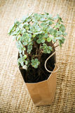 Green potted succulent plant in a brown paper bag. On a hand woven fibre rug Royalty Free Stock Photo