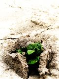 Green power of a potatoe plant. A small growing potato plant breaking through hard dry soil. Symbol of green power. High key, low DOF, vertical Stock Images