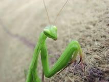 Green praying mantis Royalty Free Stock Images