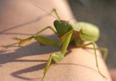 Green Praying Mantis Stock Image