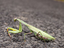 Green Praying Mantis Stock Photo