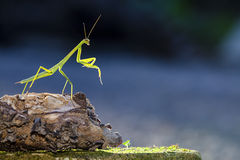 Green praying mantis Royalty Free Stock Photography