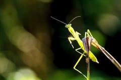 Green praying mantis Stock Photo