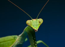 Green praying mantis with blue background Royalty Free Stock Photography