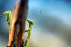 Green praying mantis Stock Photos