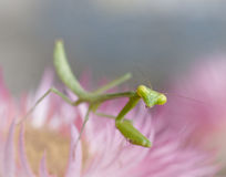 Green Praying Mantis. Close up of a green praying mantis on a pink flower Stock Photography