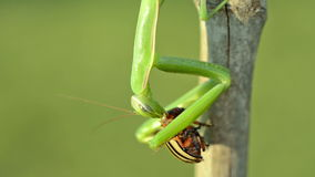 Green Praying Mantis and Colorado potato beetle. stock footage