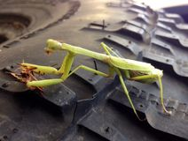 Green praying mantis eating a beetle sitting on a tire Royalty Free Stock Photos