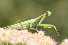 Green praying mantis on flower / Mantis religiosa royalty free stock photo