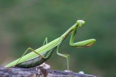 Green  praying mantis on flower Royalty Free Stock Image