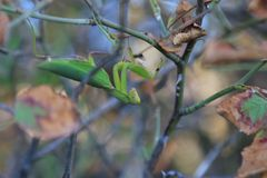 Green praying mantis on flower stock photography