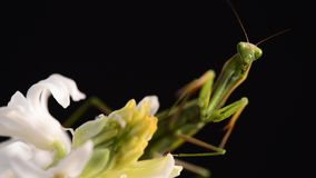 Green praying mantis on flower stock video footage