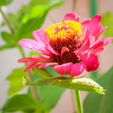Green praying mantis on flower zinnia. Green praying mantis on pink flower zinnia Royalty Free Stock Images